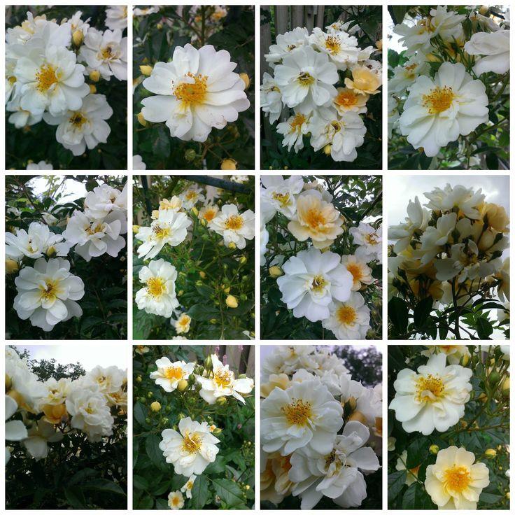 Rose Helenae 'Lykkefund'