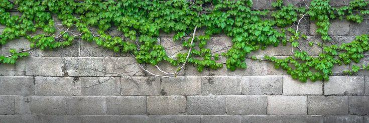 Плющ, Вайн, Листья, Растения