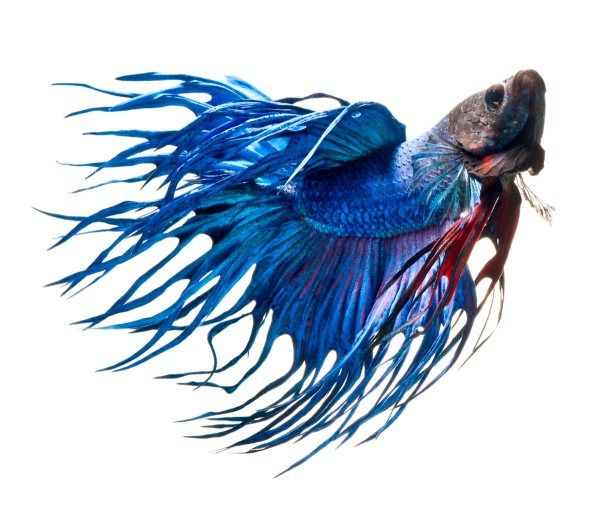Beautiful Bettas – Awesome Fish Photography by Visarute Angkatavanich - Pondly