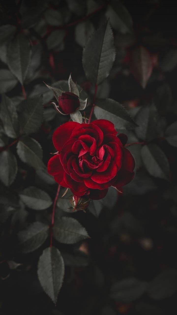 R O S E Red Roses Wallpaper Dark Red Roses Rose Wallpaper