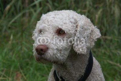 Spanischer Wasserhund