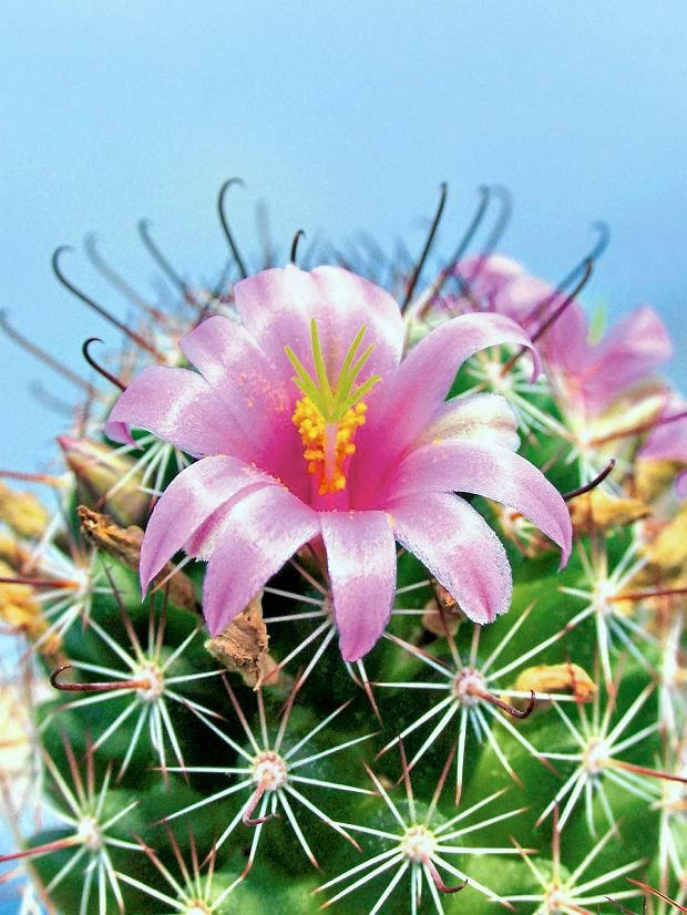 Kwiaty Doniczkowe Kaktusy Cactus Flower Cactus Flowers Cactus And Succulents