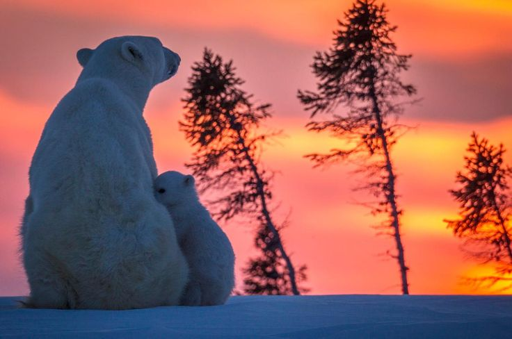It appears that polar bears enjoy a beautiful sunset too! This mama bear cuddles with her adorably small cub while the sun sets in the orange and pink sky.