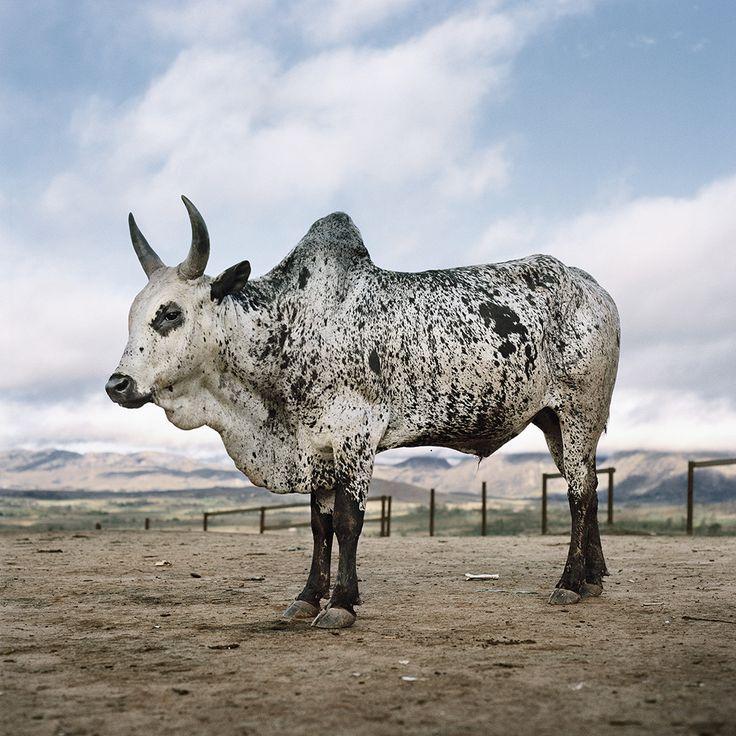1000+ Images About Miniature Zebu Cattle On Pinterest