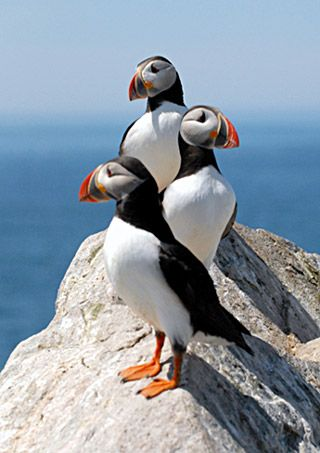 Atlantic Puffins. Aren't they cute? They are also fun to watch. Order Charadriiformes