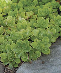sedum ternatum - woodland stone crop - can be grown in shade