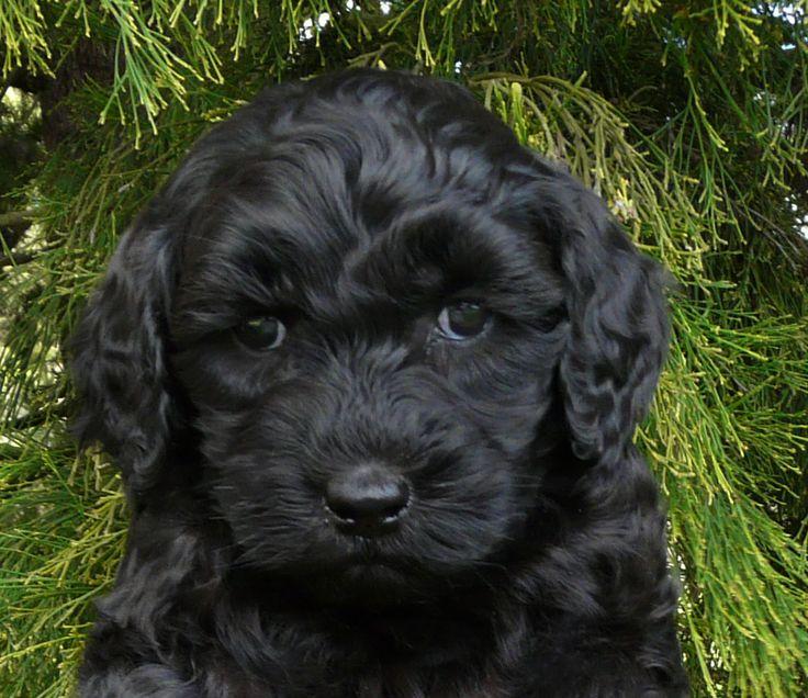 Tasmanian Labradoodles Labradoodle Black Labradoodle New Puppy