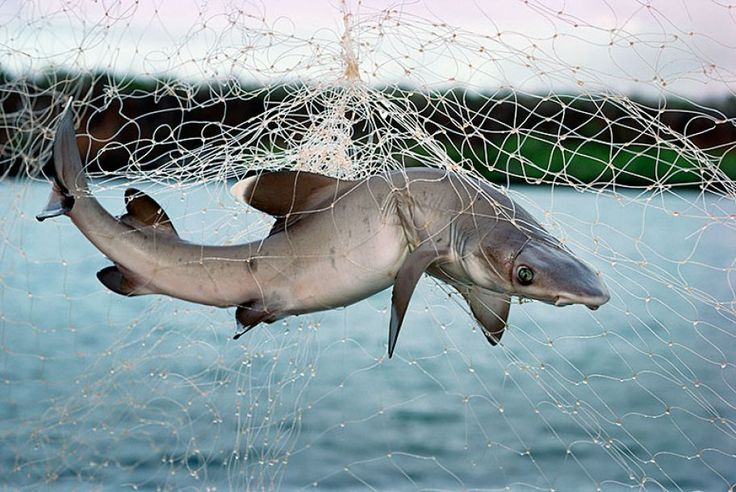 300 best animals and ocean trash images on pinterest for Baby shark fish