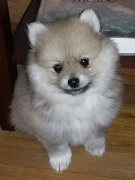pomeranian rescue oregon 25 best ideas about pomeranian puppies for sale on 3489