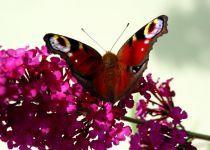 Vlinderstichting: Vlinderplanten-top 50