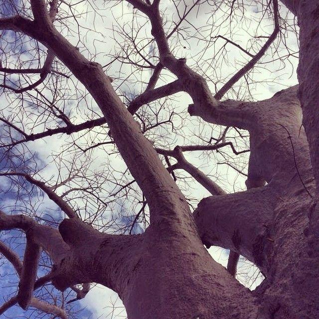 The strange beauty of a #Baobab  #tree #Africa #nature #Zambia