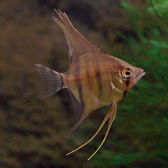 Silver Zebra Angelfish Angel Fish Fish Pet Pets