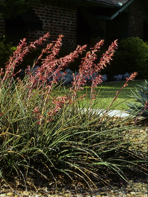 147 best native texas plants images on pinterest gardens for Pretty low maintenance flowers