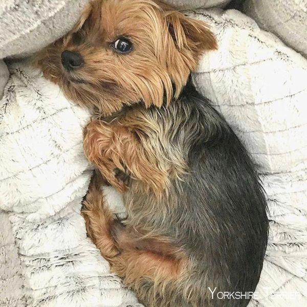Yorkshire Terrier Energetic And Affectionate With Images Yorkshire Terrier Terrier Yorkie Puppy
