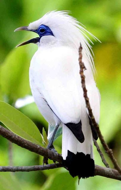 *Critically Endangered* Bali myna (Leucopsar rothschildi), also known as Rothschild's mynah, Bali starling - This stunning starling qualifies as Critically Endangered because it has an extremely small range and a tiny population which is still suffering from illegal poaching for the cagebird trade.