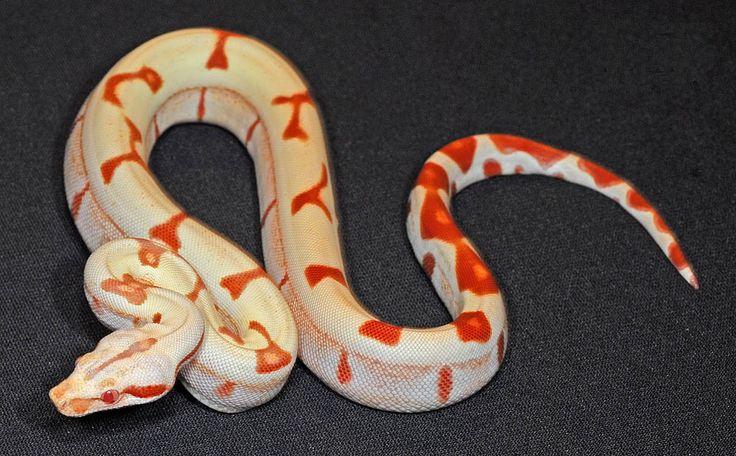 Albino Boa Constrictor Photos