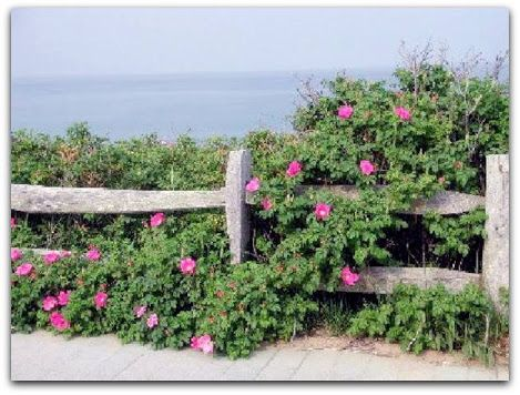 Rosa-rugosa, Roseira-rugosa  Origem: Ásia, China, Coréia do Norte, Coréia do…