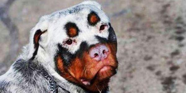 22. Ein Labrador namens Bull hat eine ungewöhnliche Fellfarbe. Außerdem hat er eine dicke, schwarze Augenbraue über einem seiner Augen. 23. Adoptiert jemand diesen Süßen? Offensichtlich sucht er nach einem Zuhause! 24. Hunde mit einem Herzen im Fell. Einige befinden sich an vergleichsweise ungewöhnlichen Orten :). 25. Süßer, gefleckter Hund. Ein bisschen wie eine Hyäne. Magst Du diese Tiere? Falls ja, dann teile diesen Post mit Deinen Freunden auf Facebook!