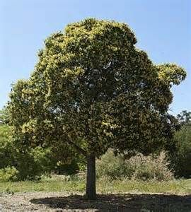 Native Frangipani Hymenosporum flavum