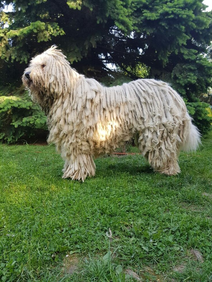 #komondor #hungarydogs #dog #dogs