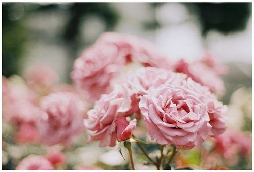 Pretty flowers: Pink Roses, Wedding, Pretty Things, Posts, Gardens, Beautiful Flowers, Bloom, Nature Flower, Floral