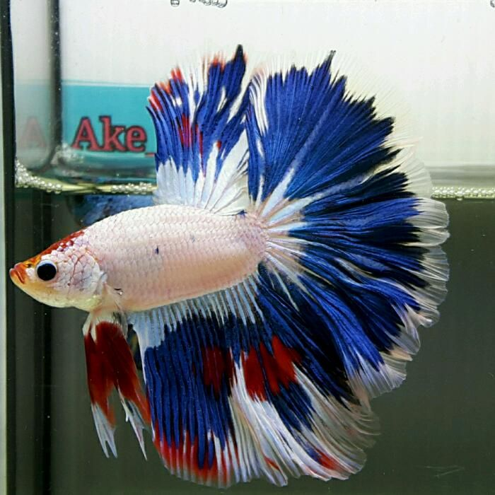Fwbettashm1456019546 big size hm blue white fancy for Big betta fish