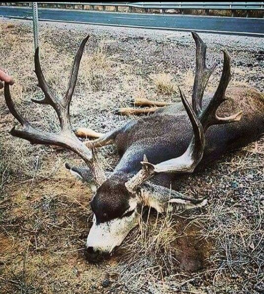New Mexico mule deer hit by a truck. Unit 2b.