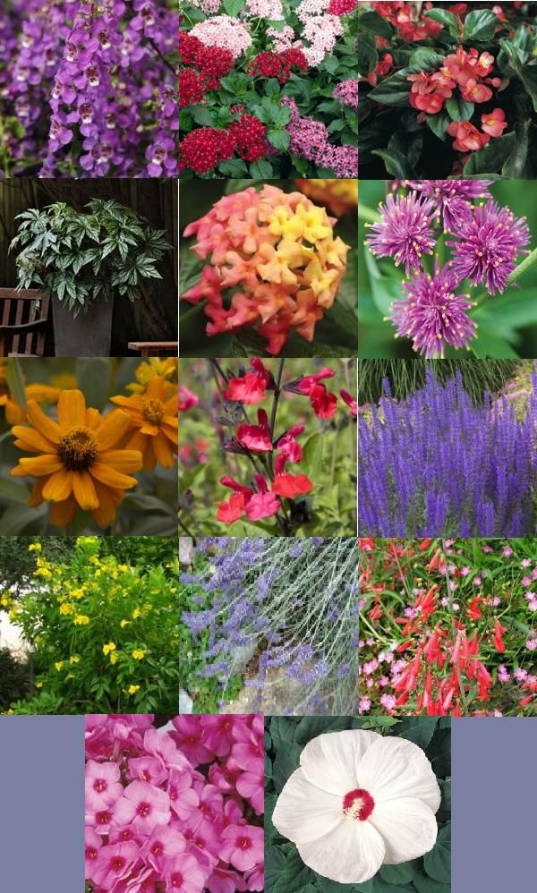 Heat Tolerant Plants Annuals Angelonia 39 Butterfly