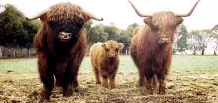 Bairnsley Highlands - Why Breed Highland Cattle