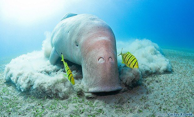 dugong marine mammals in the philippine Island which protect the philippine eagle and other wonders tañon strait is their marine counterpart,  mammals in the philippines the dugong.