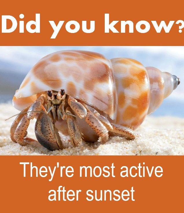 Hermit crabs are nocturnal, meaning they're most active after sunset. That's when you can observe them drinking, eating, cleaning or interacting with other crabs. According to PawNation, wild hermit crabs are most active from 8 p.m. to midnight.