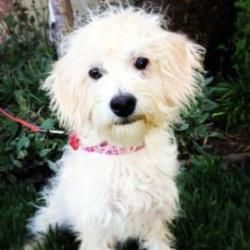 Winnie is an adoptable Poodle Dog in Santa Cruz, CA. Winnie is 5 months old. The Santa Cruz SPCA's adoption package for dogs and cats includes spay/neuter, vaccinations, microchip/registration, an ID ...