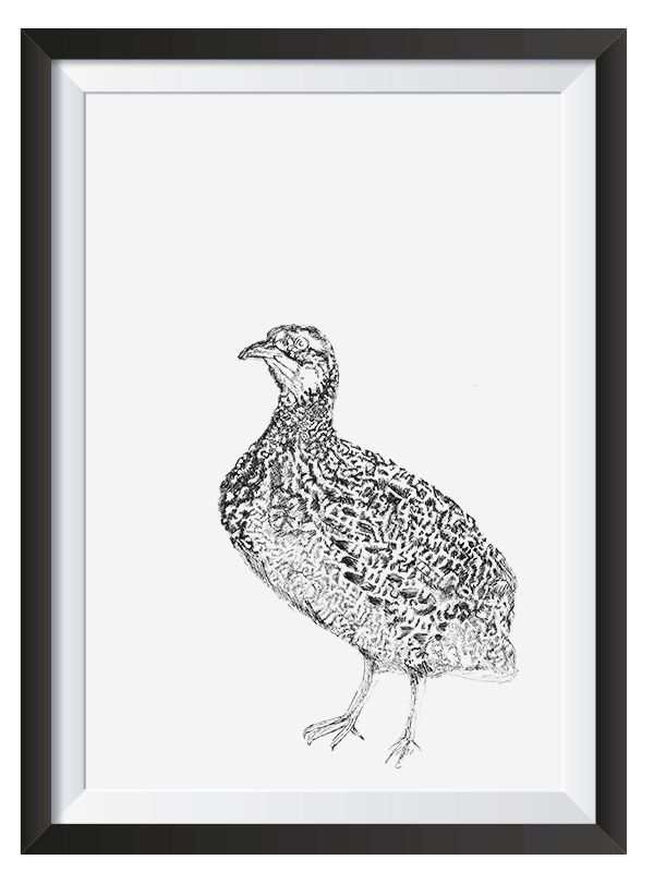 Grey Winged Francolin illsutrated with Pen by Nicoll van der Nest