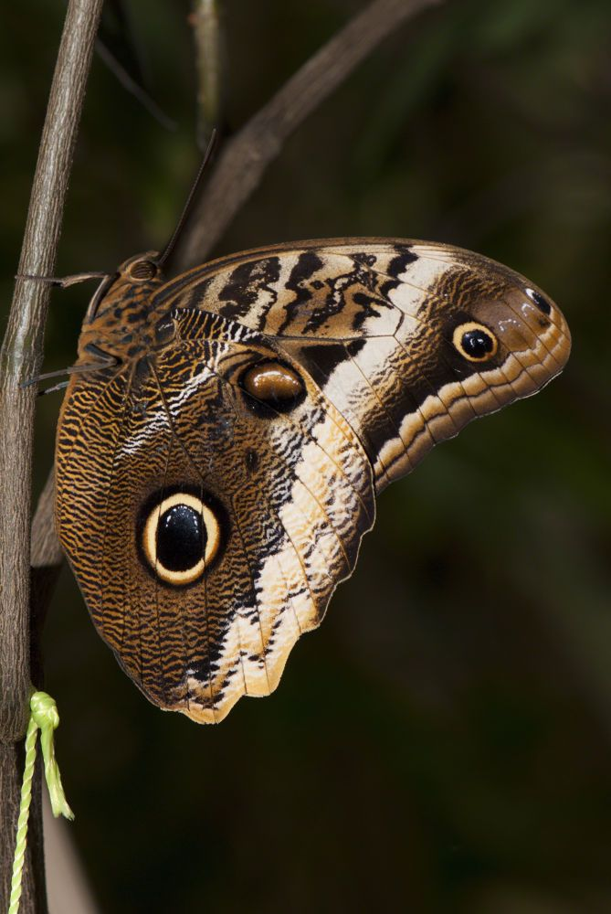Owl Butterfly by cliffordpugliese