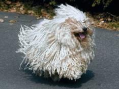 Der nicht haarende Puli (ungarischer Hirtenhund) braucht wie der Wasserhund viel Auslauf.