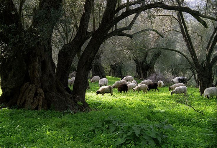 Sheep Grazing Among Ancient Olives