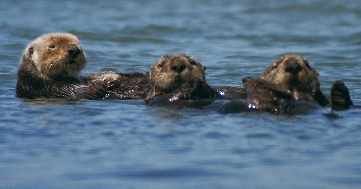 Sea Otters of Elkhorn Slough, Moss Landing