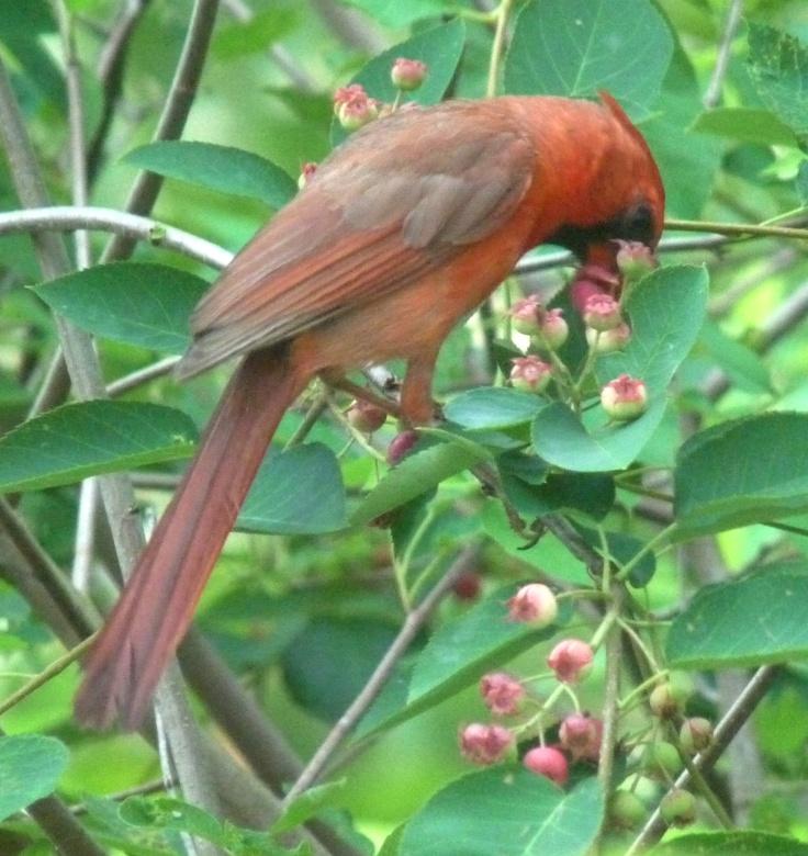 A Cardinal Enjoys A Serviceberry In A Suburban Atlanta