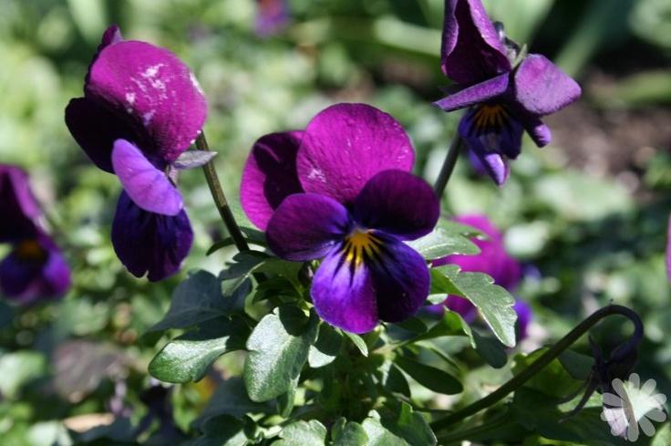 Les 21 meilleures images du tableau fleurs sur pinterest for Plantes vivaces rustiques
