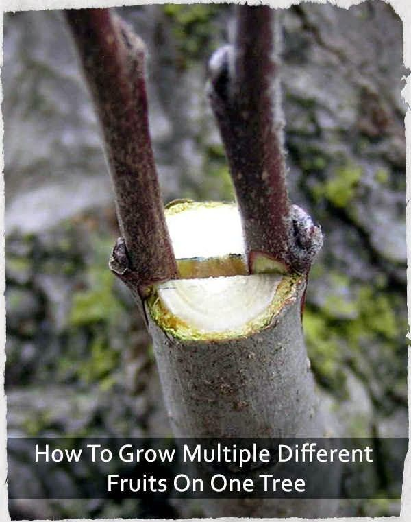 How To Grow Multiple Different Fruits On One Tree