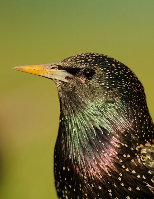 I'm hoping to see some starlings in my garden during Big Garden #Birdwatch - are you?