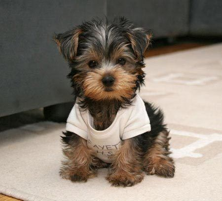 Yorkie puppy! Kinda wishing for a little one like this, considering my puppy is over 30 lbs and almost knocks me over!