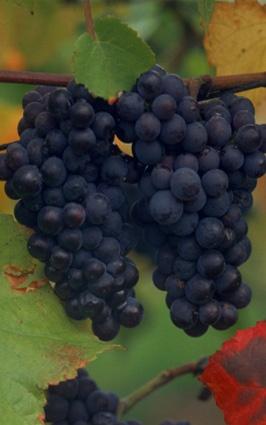 Cabernet Sauvignon - Dünyanın en ünlü şaraplık üzümü Cabernet Sauvignon'dur. Dengeli yapısı, kompleks olması, uzun süre yıllandırılabilmesi ve kolay yetiştirilmesi sebebiyle çok sevilmektedir. Ilık iklimde yetişen, iyi renk veren, küçük taneli, kalın kabuklu ve sert tanenli bir üzümdür. Fransa'da Bourdeaux, Languedoc-Rousillon ve Loire Vadisi'nde; ABD'de Kaliforniya'da, İtalya'da Toscana'da iyi örneklerine rastlanır. Fransa'da en çok Merlot ile kupajı yapılır.