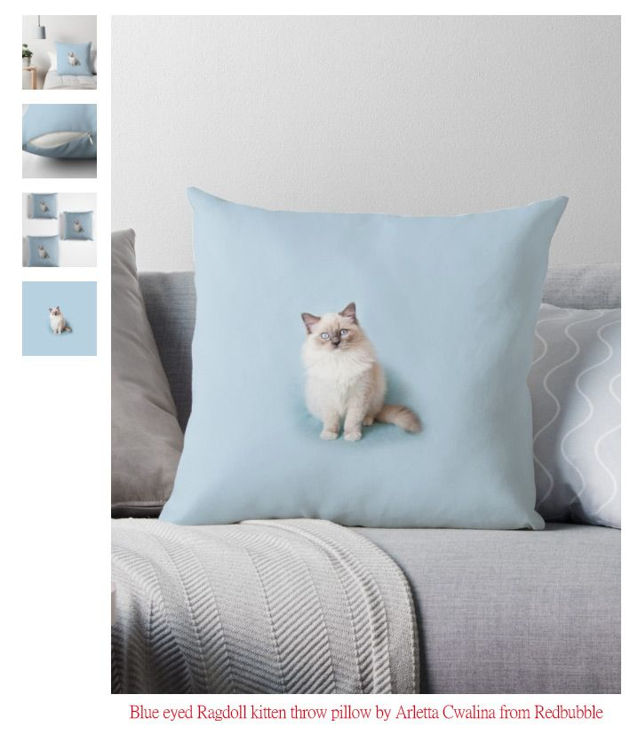 Throw pillow - home decor ideas - Blue eyed Ragdoll kitten sitting on blue backdrop in studio shot. Domestic pet with fluffy hair, admirable animal portrait.