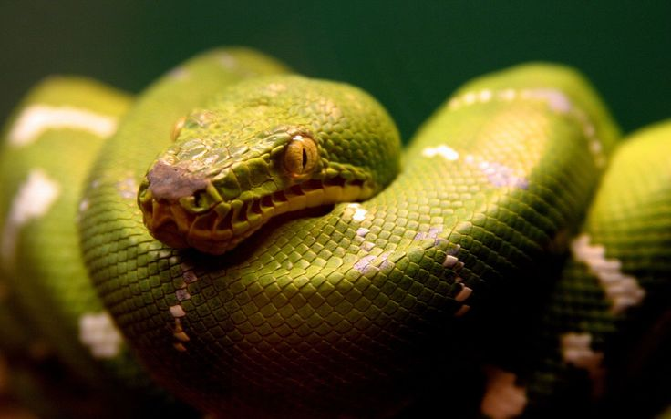 a green snake Wallpapers    #hdwallpapers #wallpapers #snake