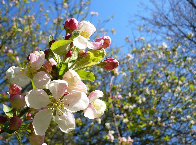 Midwest Natural Gardening: Plant an Edible Hedgerow: Edible Weeds Plants, Edible Flower, Flowering Trees, Fruit Trees, Flowers, Florals Trees, Crab Apples, Edible Hedgerows