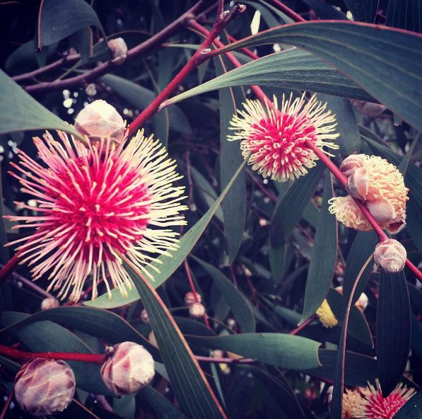 Pincushion Hakea is one of my favourites #hakealaurina #nativeplant #birds #bees #love #garden #flowers #gardendesign #melbourne #landscape Delete Comment