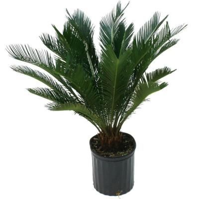 Delray plants sago palm in 10 in pot 10sago at the home Home depot palm beach gardens