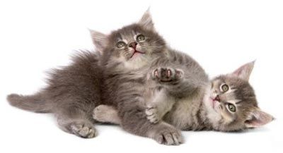 manx cats | Manx Kittens for Sale, Manx Cat Breeders & Pictures of Manx Cats ...
