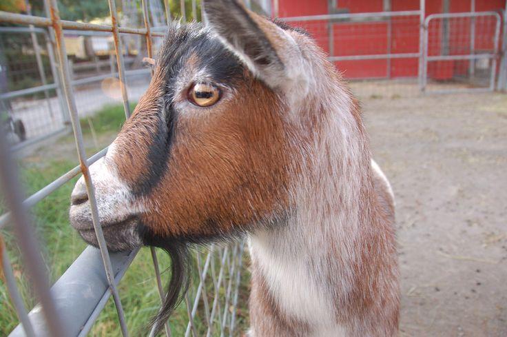 Goats have rectangular pupils.